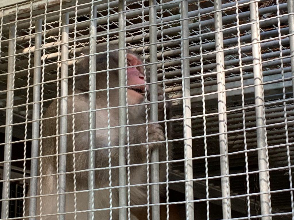 日吉大社の神猿さん